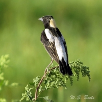 This Bobolink, like many species, has been spotted at the Wetlands even though it was out of its usual range.